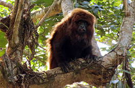 Brown Howler Monkey
