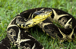 Bothrops Jararacussu