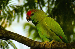 Amazona Rhodocorytha